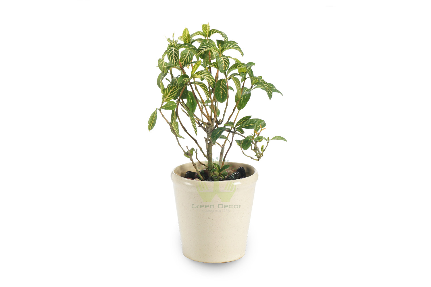 Buy Pilea Cadierei Plant Front View, White Pots and Seeds in Delhi NCR by the best online nursery shop Greendecor.