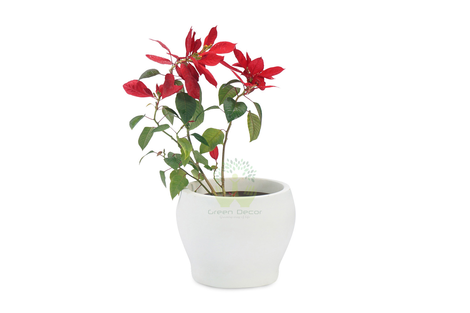 Buy Poinsettia Plants , White Pots and seeds in Delhi NCR by the best online nursery shop Greendecor.