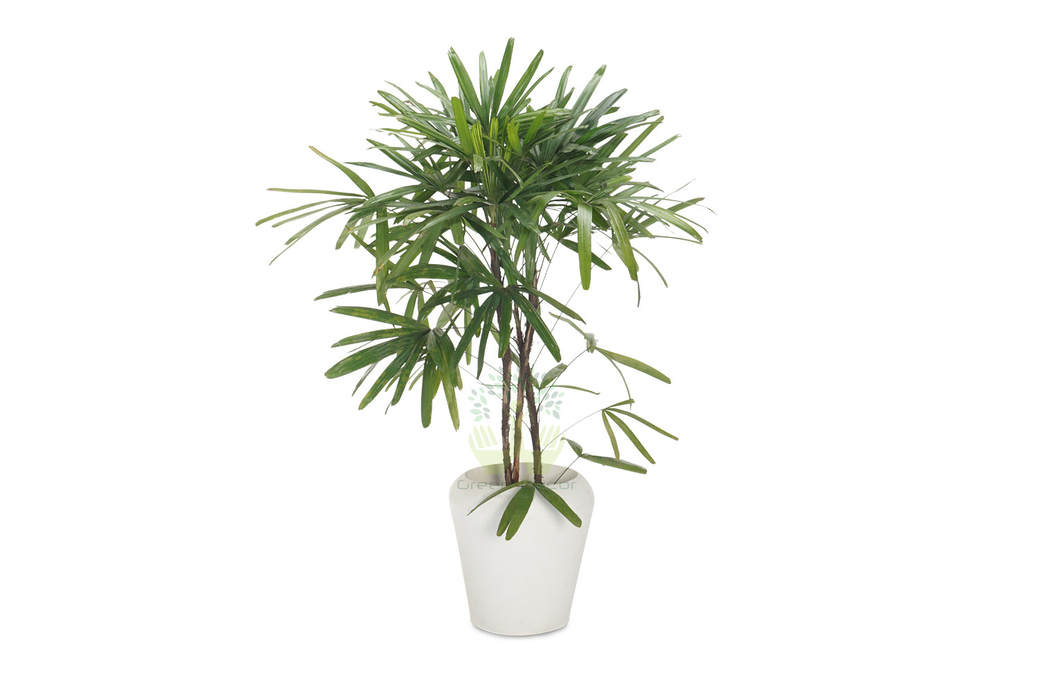 Buy Broadleaf Lady Palm Plants Front View , White Pots and seeds in Delhi NCR by the best online nursery shop Greendecor.