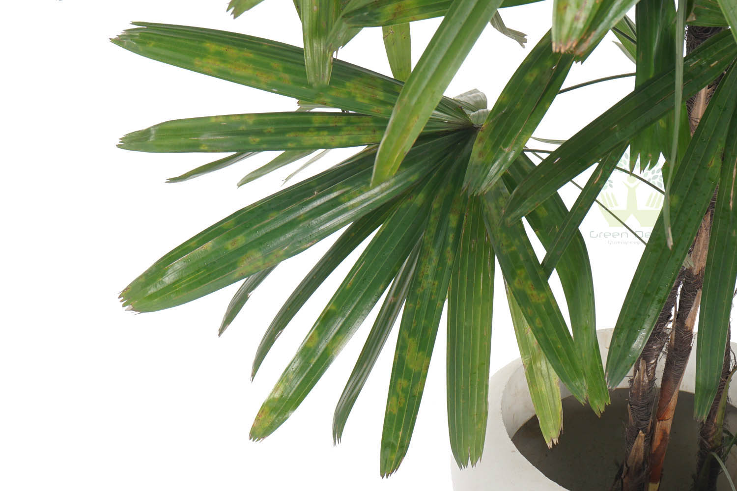 Buy Broadleaf Lady Palm Plants Leaves View , White Pots and seeds in Delhi NCR by the best online nursery shop Greendecor.