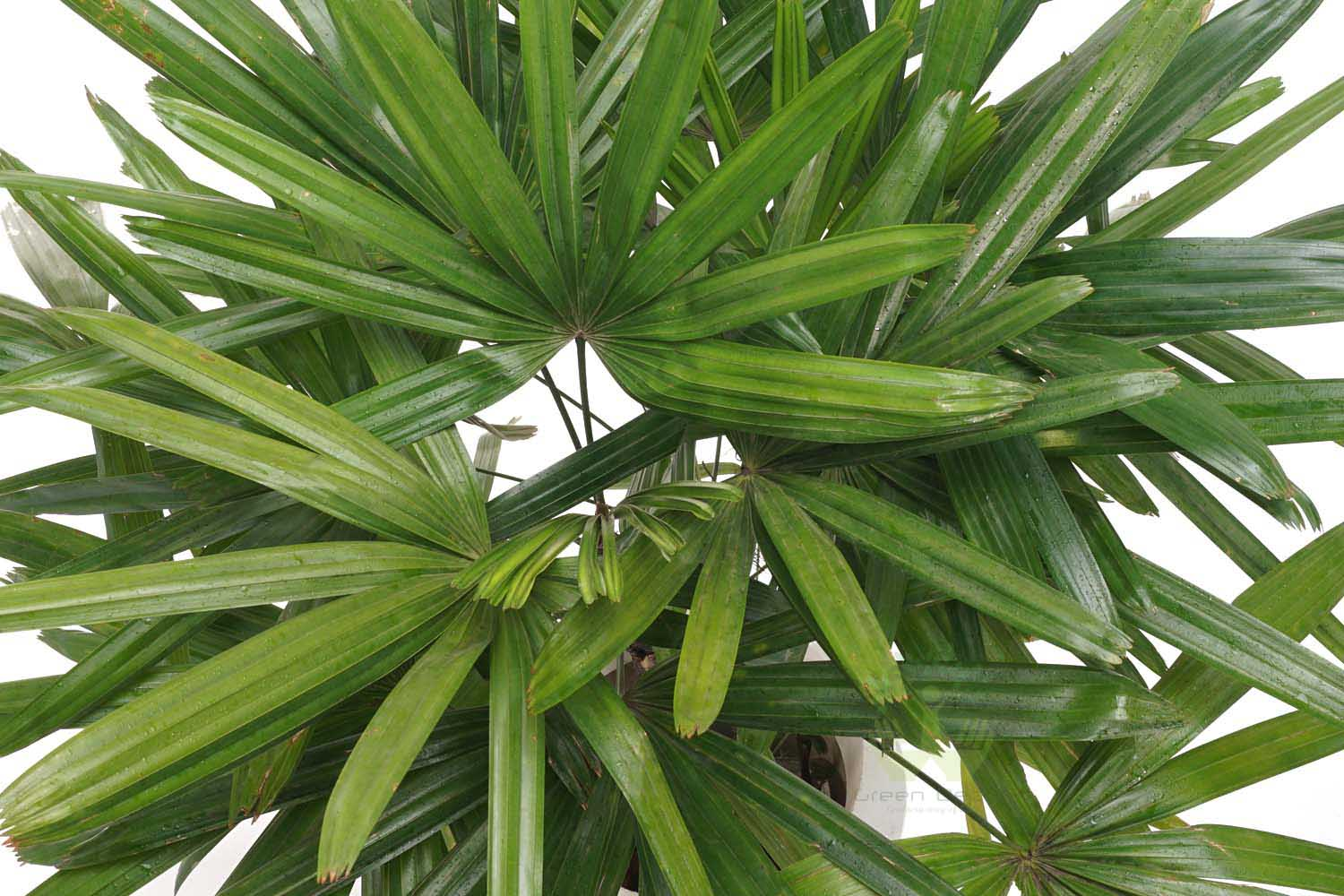 Buy Broadleaf Lady Palm Plants Top View , White Pots and seeds in Delhi NCR by the best online nursery shop Greendecor.