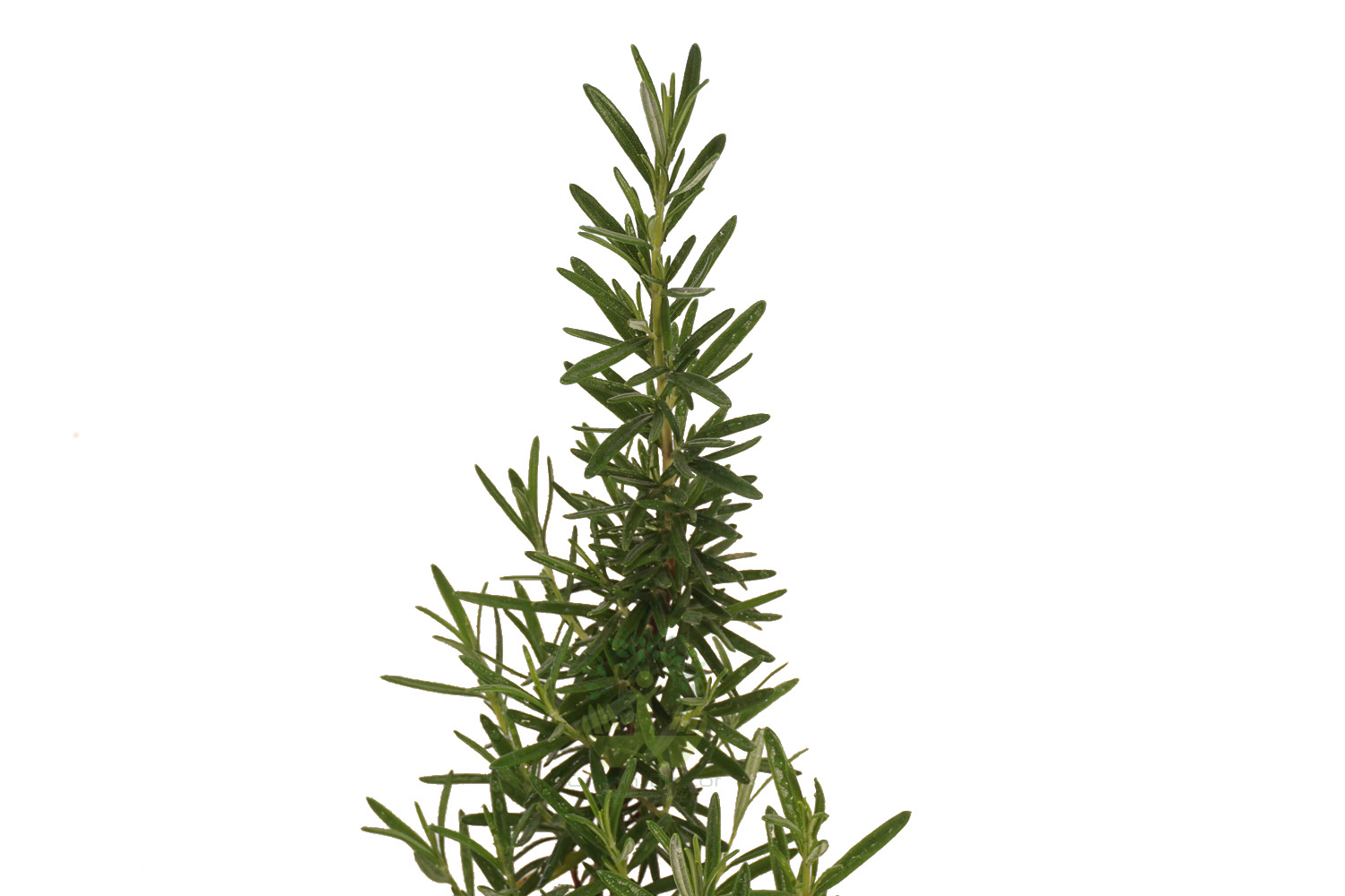 Buy Rosemary Plants , White Pots and seeds in Delhi NCR by the best online nursery shop Greendecor.