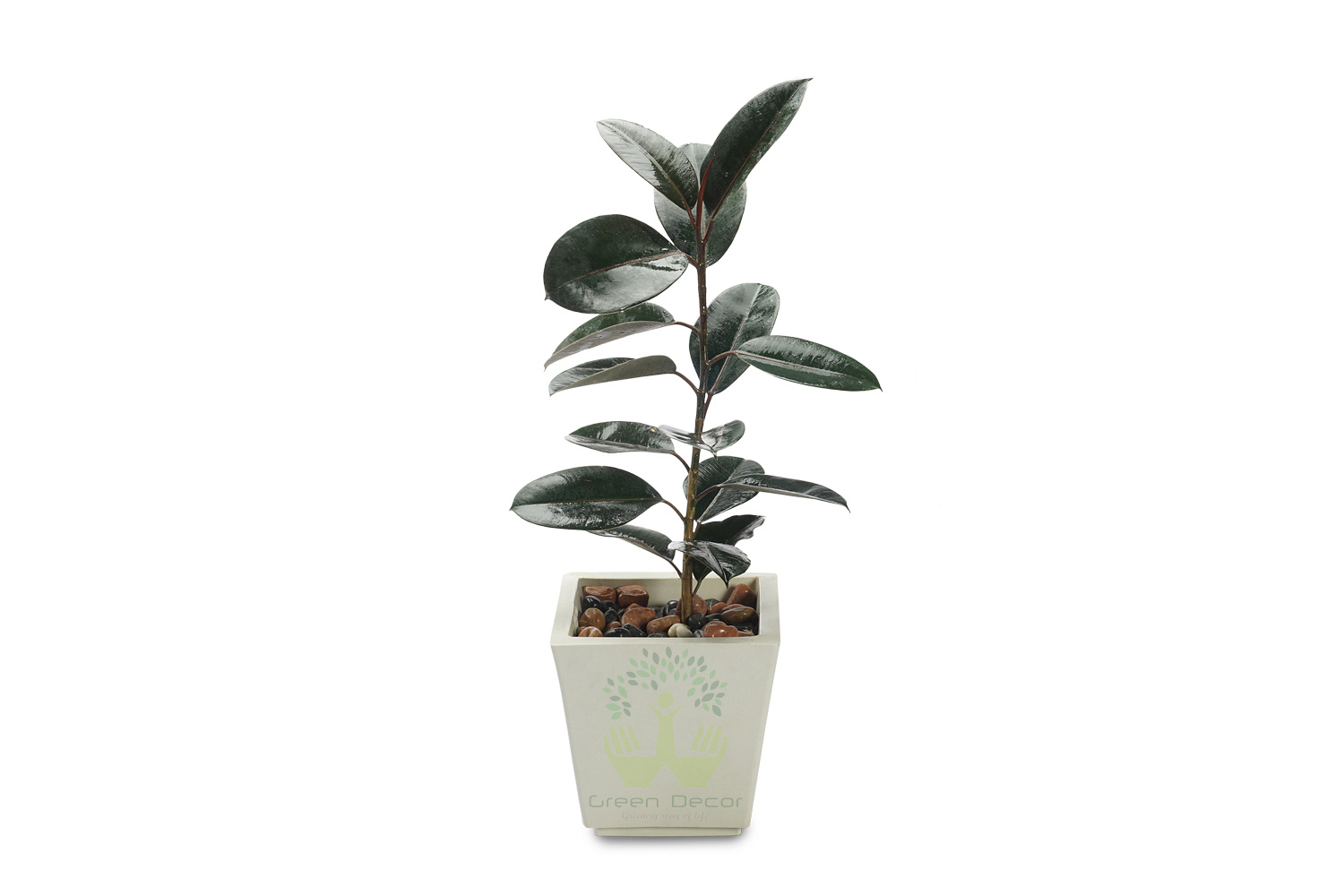 Buy Rubber Plants , White Pots and seeds in Delhi NCR by the best online nursery shop Greendecor.