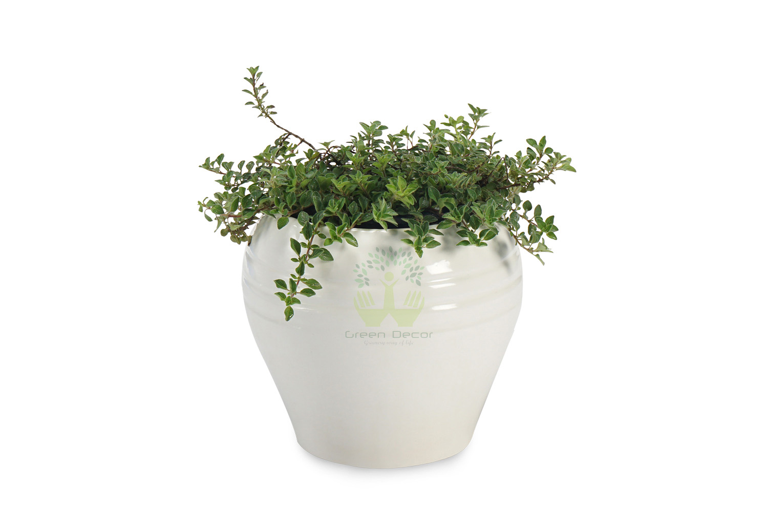 Buy Sage Plants , White Pots and seeds in Delhi NCR by the best online nursery shop Greendecor.