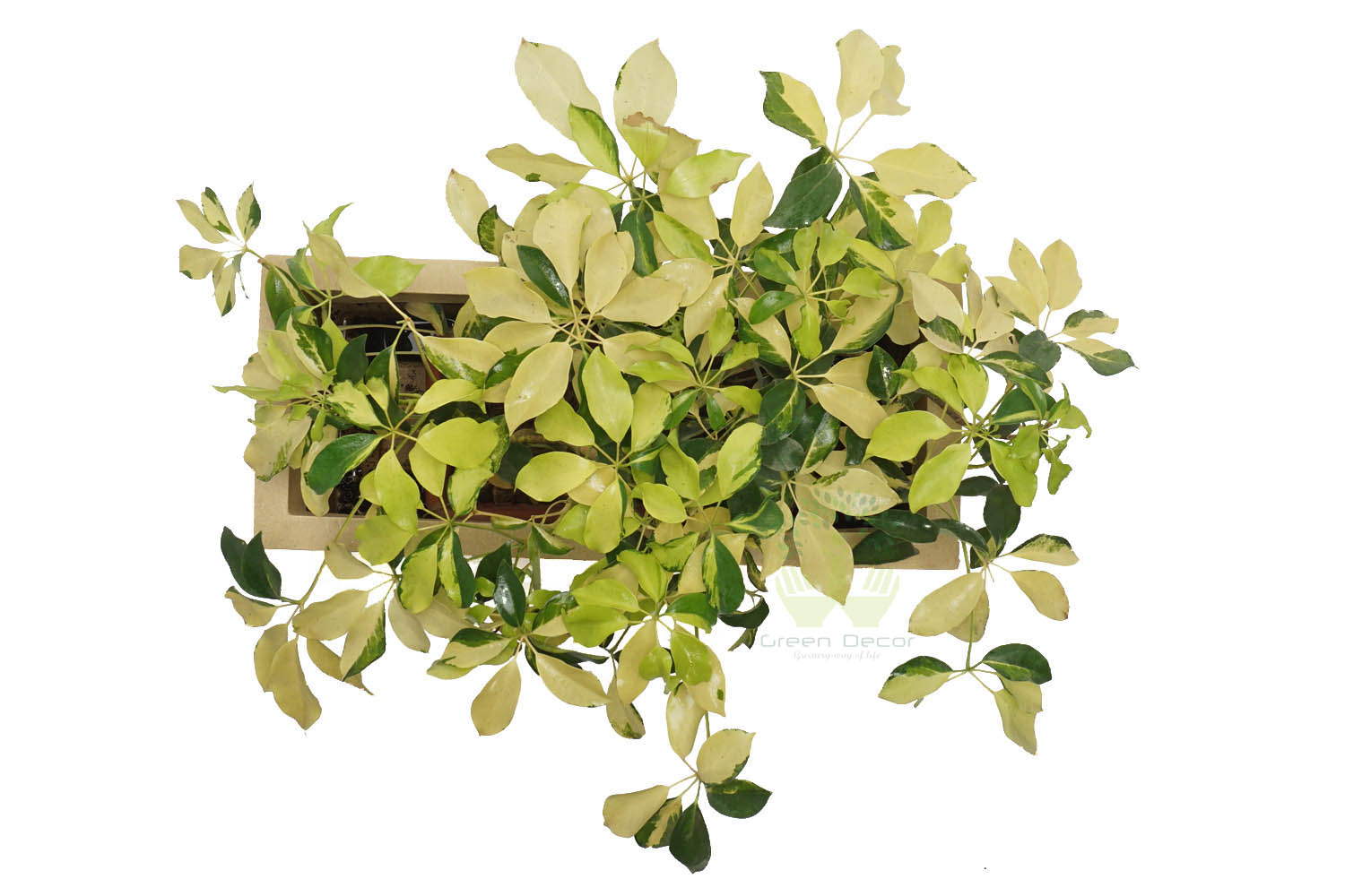Buy Scheflerra Varigated Plants , White Pots and seeds in Delhi NCR by the best online nursery shop Greendecor.