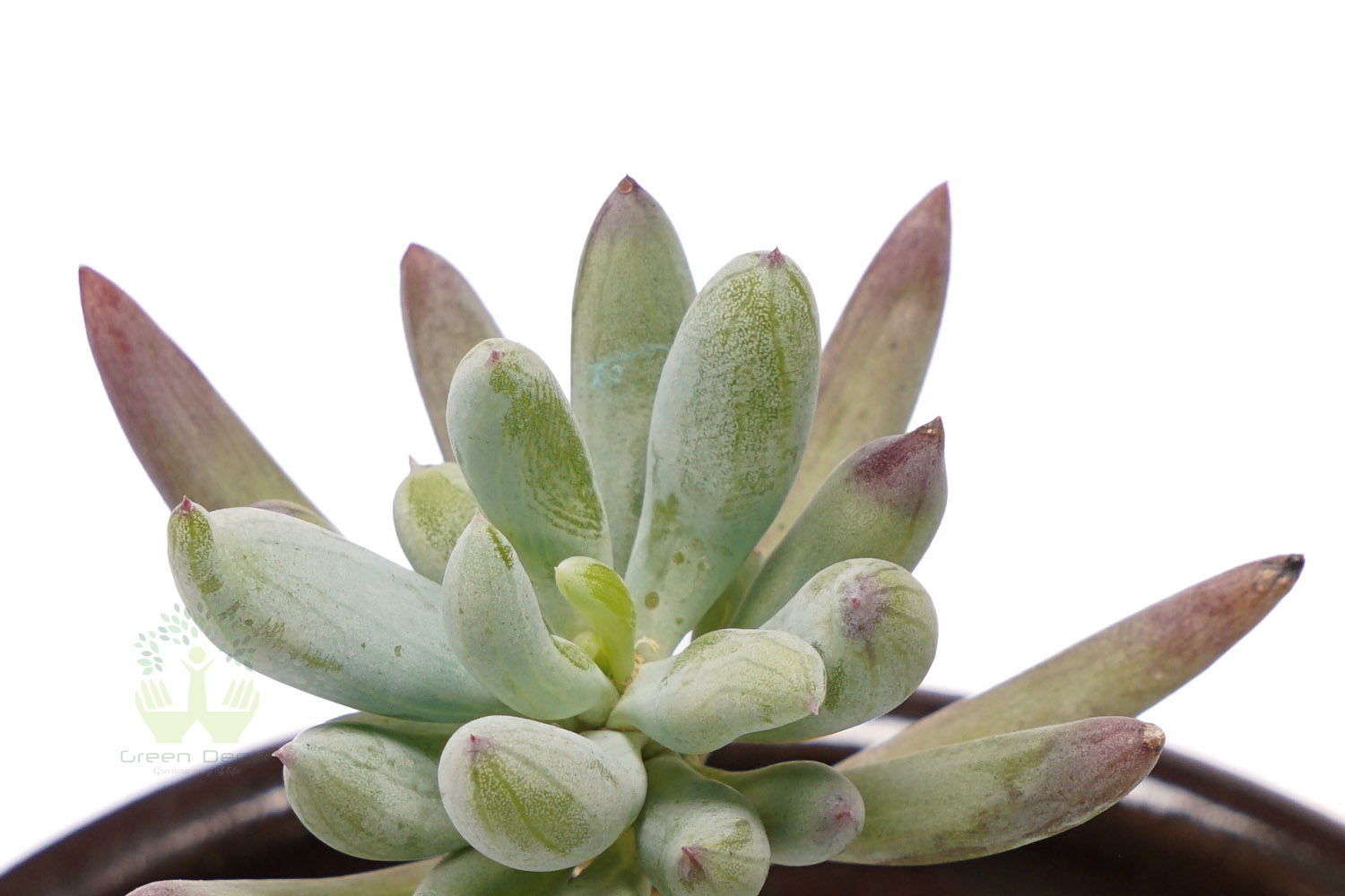 Buy Sedum Adolphi Plants , White Pots and seeds in Delhi NCR by the best online nursery shop Greendecor.