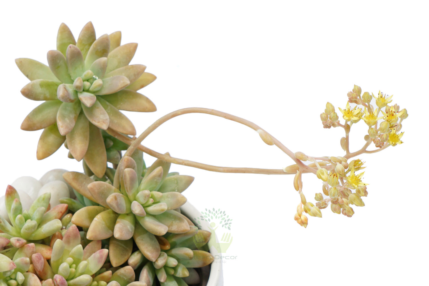 Buy Sedum Rubrotinctum Aurora Plants , White Pots and seeds in Delhi NCR by the best online nursery shop Greendecor.
