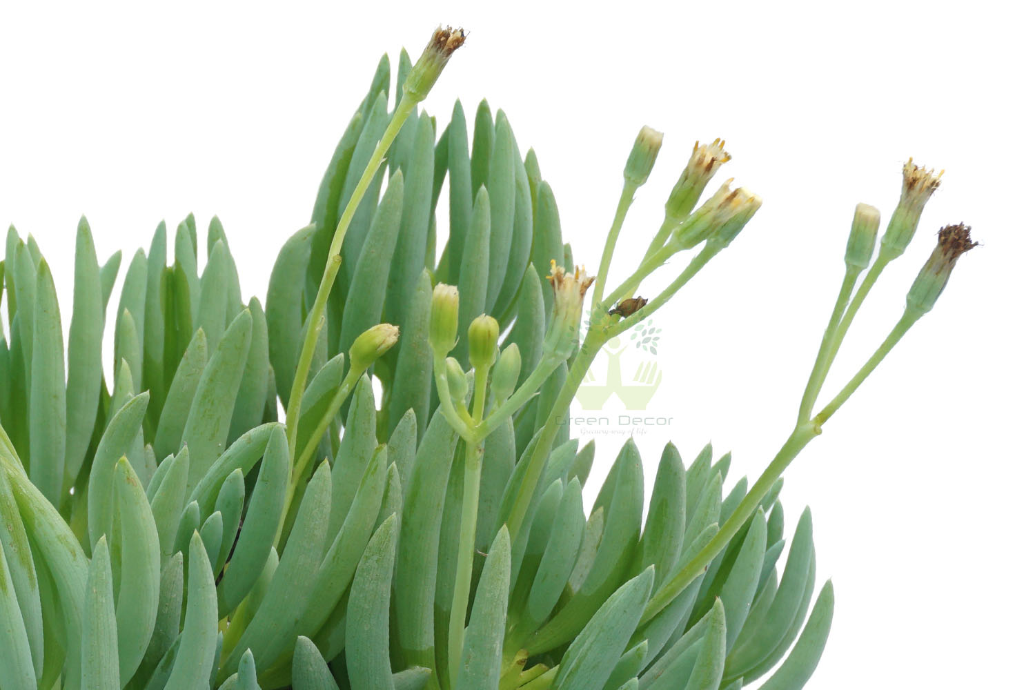 Buy Senecio Serpens Plants,White Pots and seeds in Delhi NCR by the best online nursery shop Greendecor.