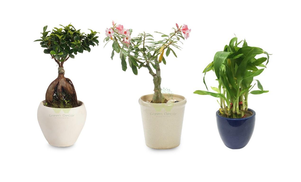 Best Online Store to Buy Bonsai Plants Online in Delhi NCR