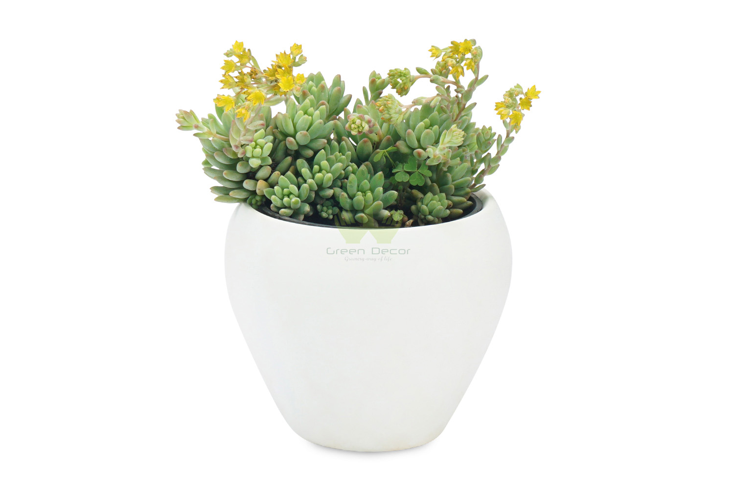 Buy Sedum Angelina Plants , White Pots and seeds in Delhi NCR by the best online nursery shop Greendecor.