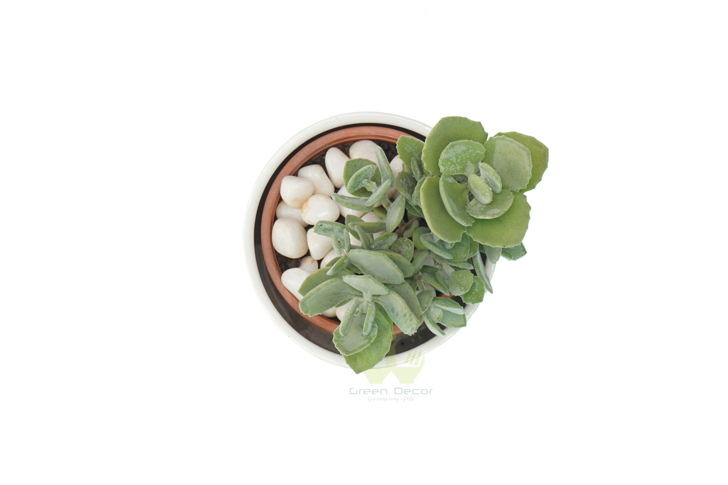 Buy Echeveria Plant Top View by the best online nursery shop Greendecor.