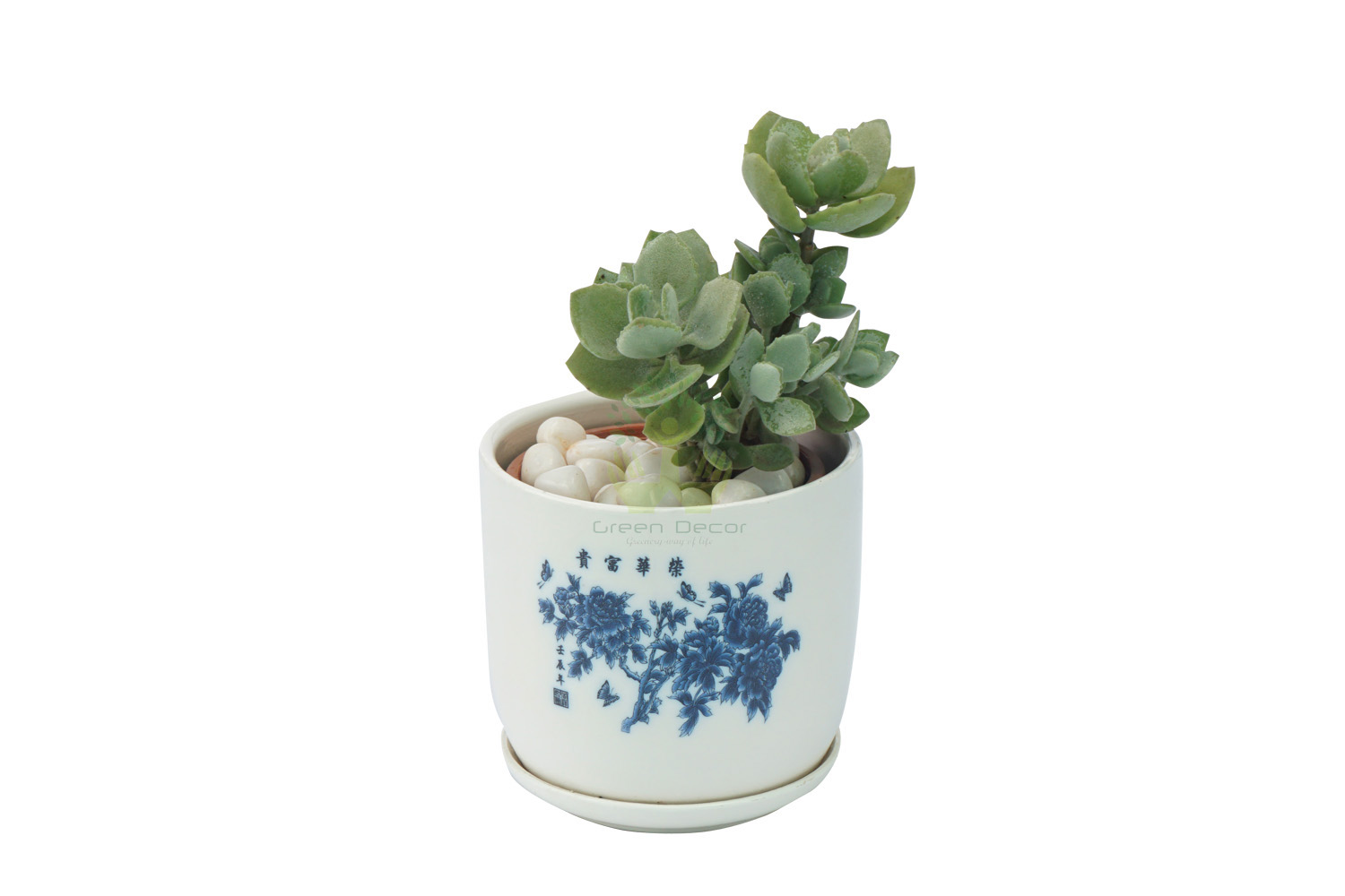 Buy Echeveria Plant Front View, White Pots and Seeds in Delhi NCR by the best online nursery shop Greendecor.