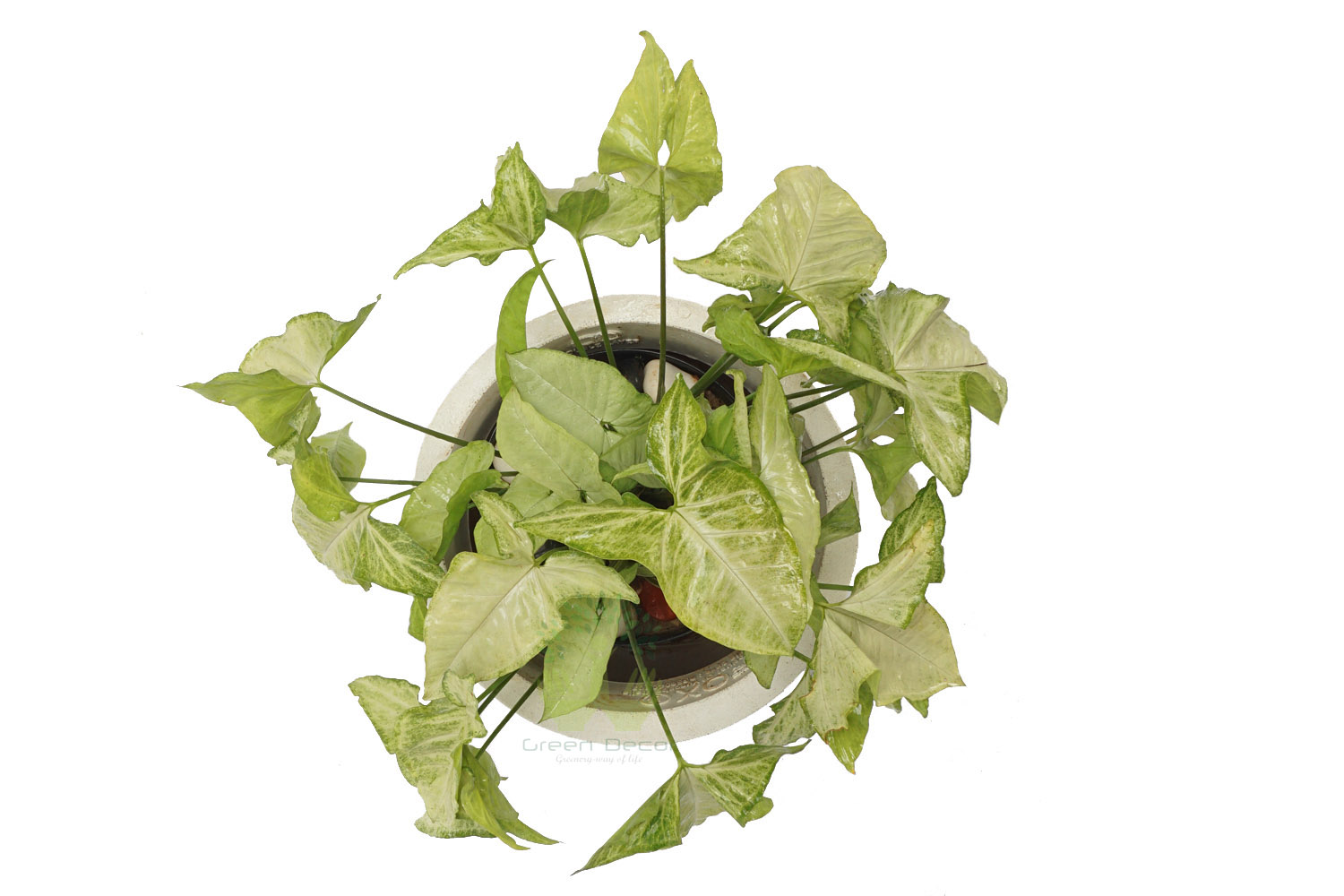 Buy Syngonium Plants , White Pots and seeds in Delhi NCR by the best online nursery shop Greendecor.