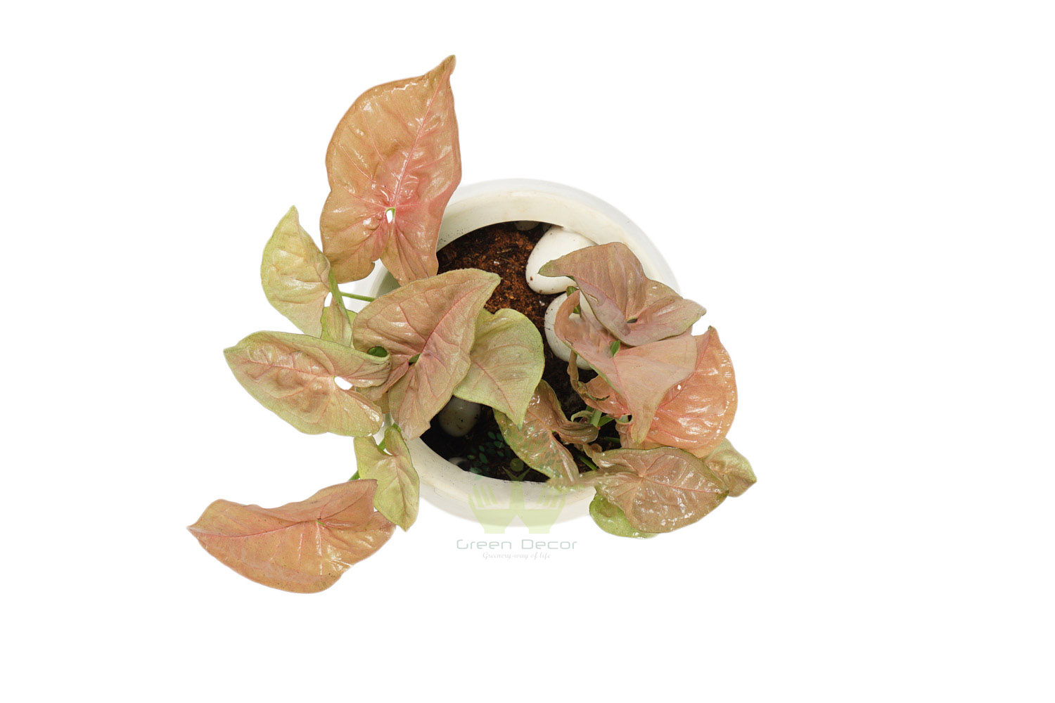 Buy Syngonium Pink Plants , White Pots and seeds in Delhi NCR by the best online nursery shop Greendecor.