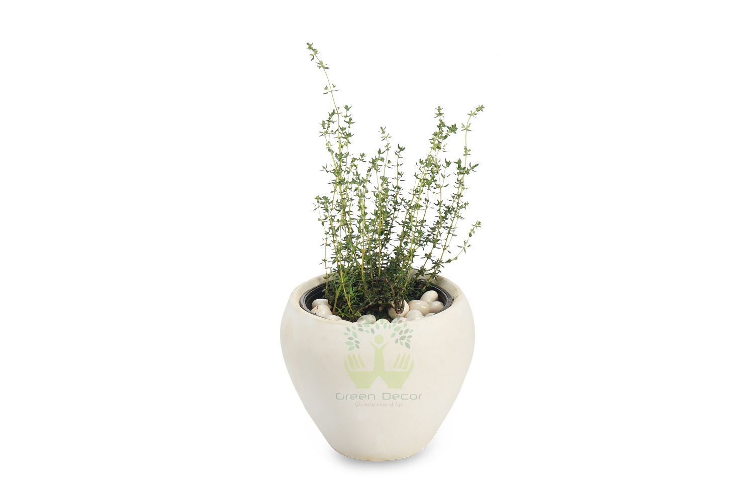 Buy Rosemary Plants Online, Order for Rosemary Plants in