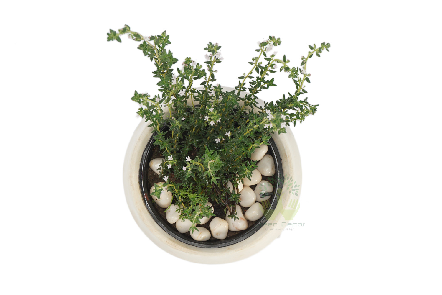 Buy Thyme Plants , White Pots and seeds in Delhi NCR by the best online nursery shop Greendecor.