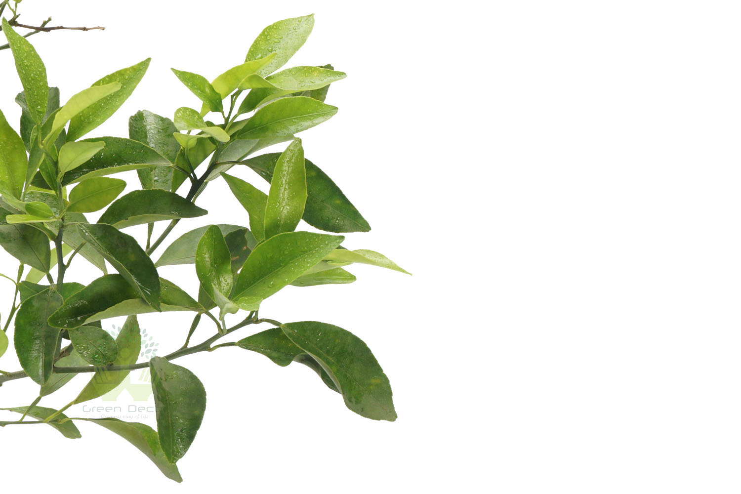 Buy Lemon Plants Leaves View , White Pots and seeds in Delhi NCR by the best online nursery shop Greendecor.