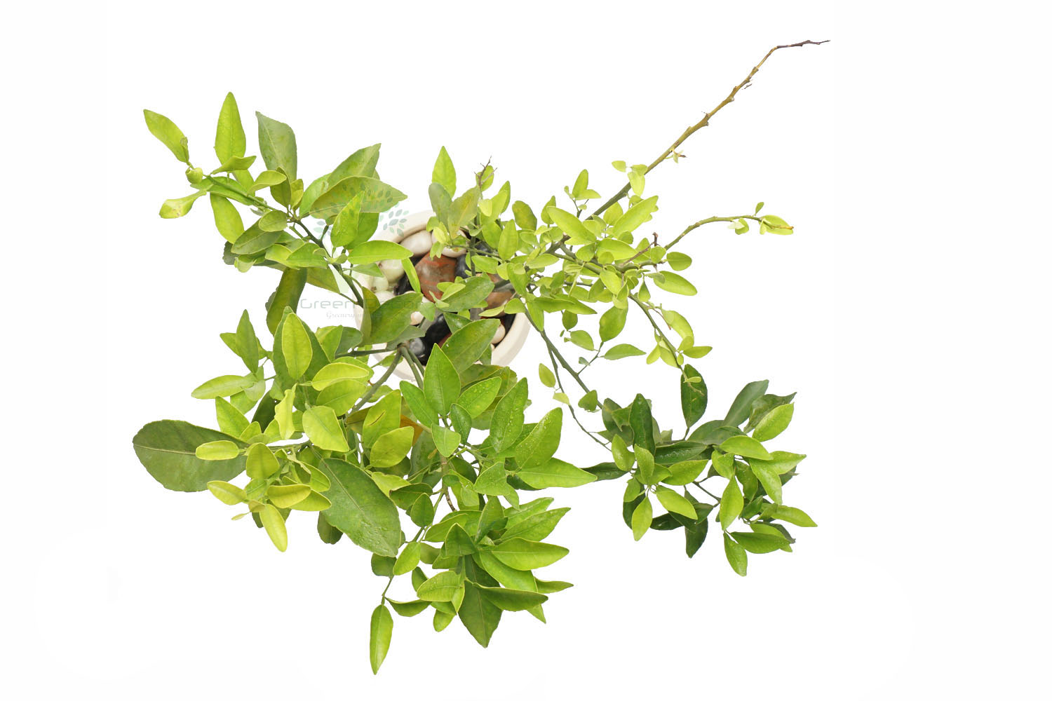 Buy Lemon Plants Top View , White Pots and seeds in Delhi NCR by the best online nursery shop Greendecor.