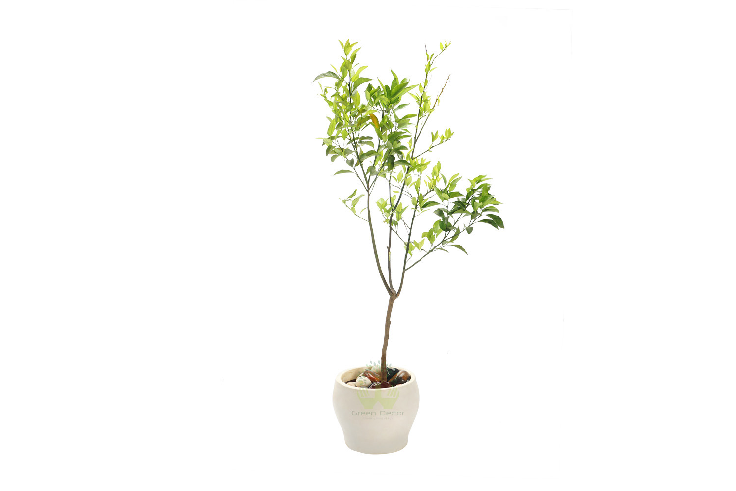 Buy Lemon Plants Front View , White Pots and seeds in Delhi NCR by the best online nursery shop Greendecor.