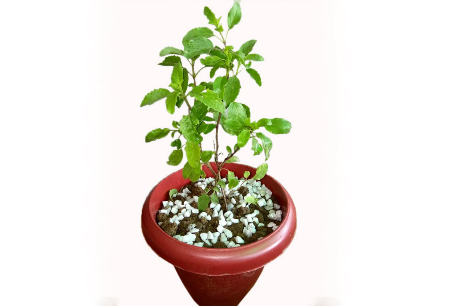 Side view of high quality Tulsi plant from Green Decor