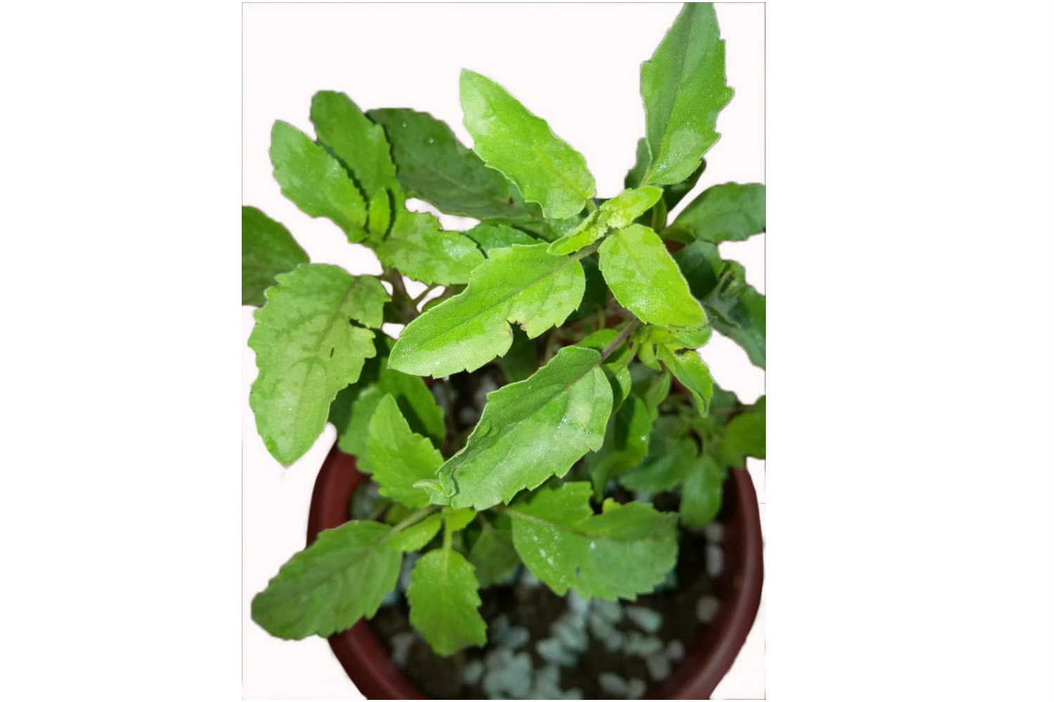 Upper view of high quality Tulsi plant by Green Decor