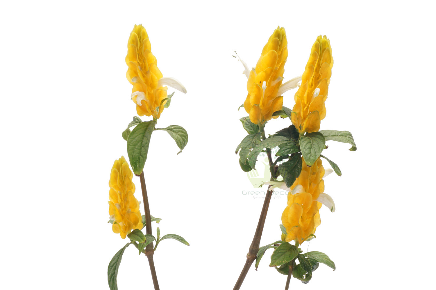 Buy Yellow Shrimp Plant Closeup View, White Pots and Seeds in Delhi NCR by the best online nursery shop Greendecor.