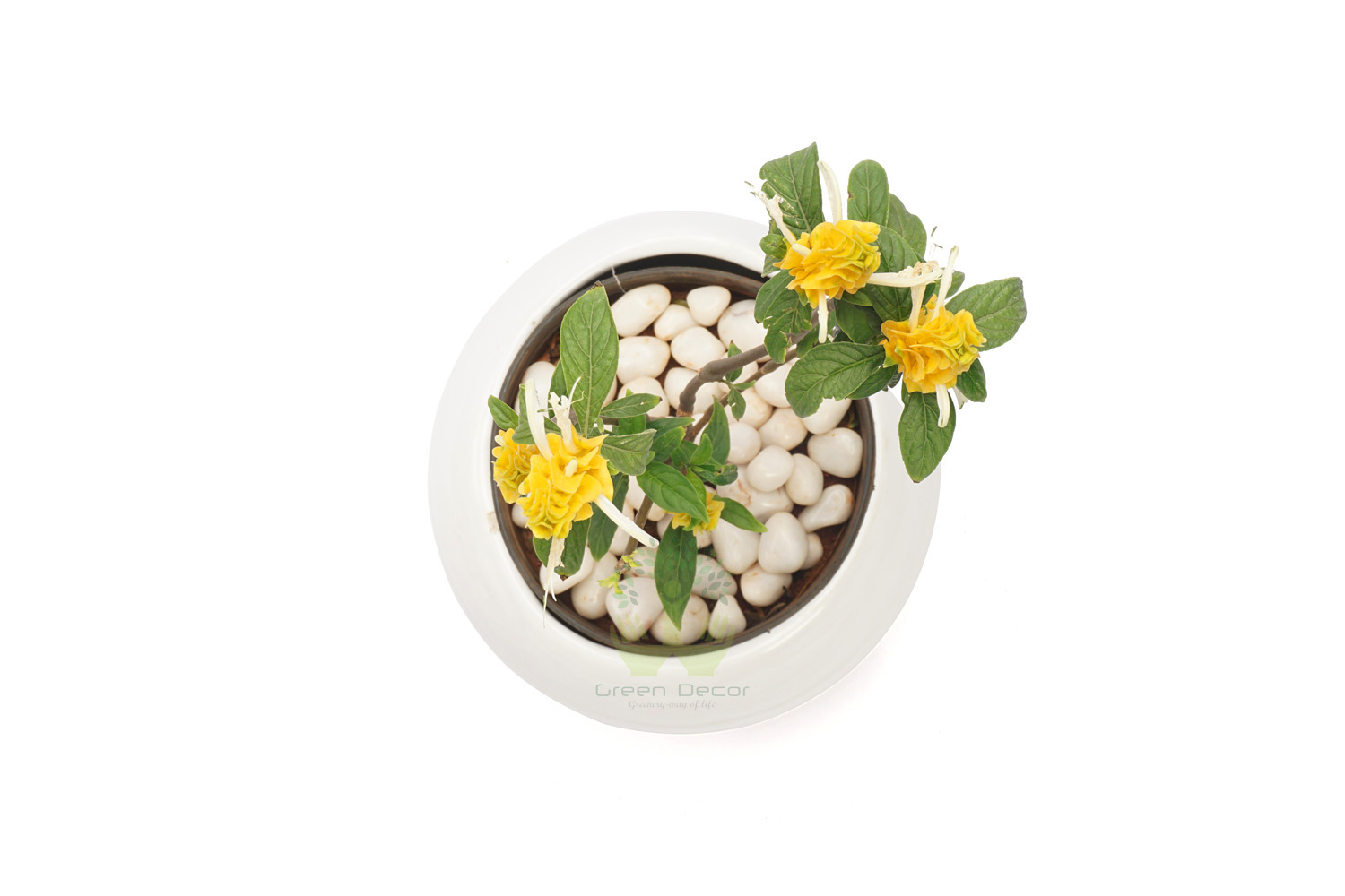 Buy Yellow Shrimp Plant Top View, White Pots and Seeds in Delhi NCR by the best online nursery shop Greendecor.