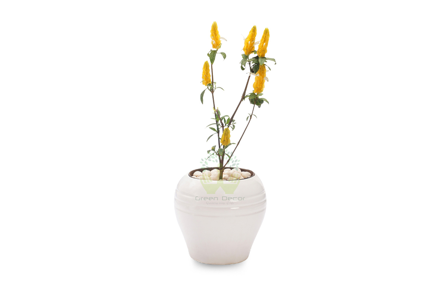Buy Yellow Shrimp Plant Front View, White Pots and Seeds in Delhi NCR by the best online nursery shop Greendecor.