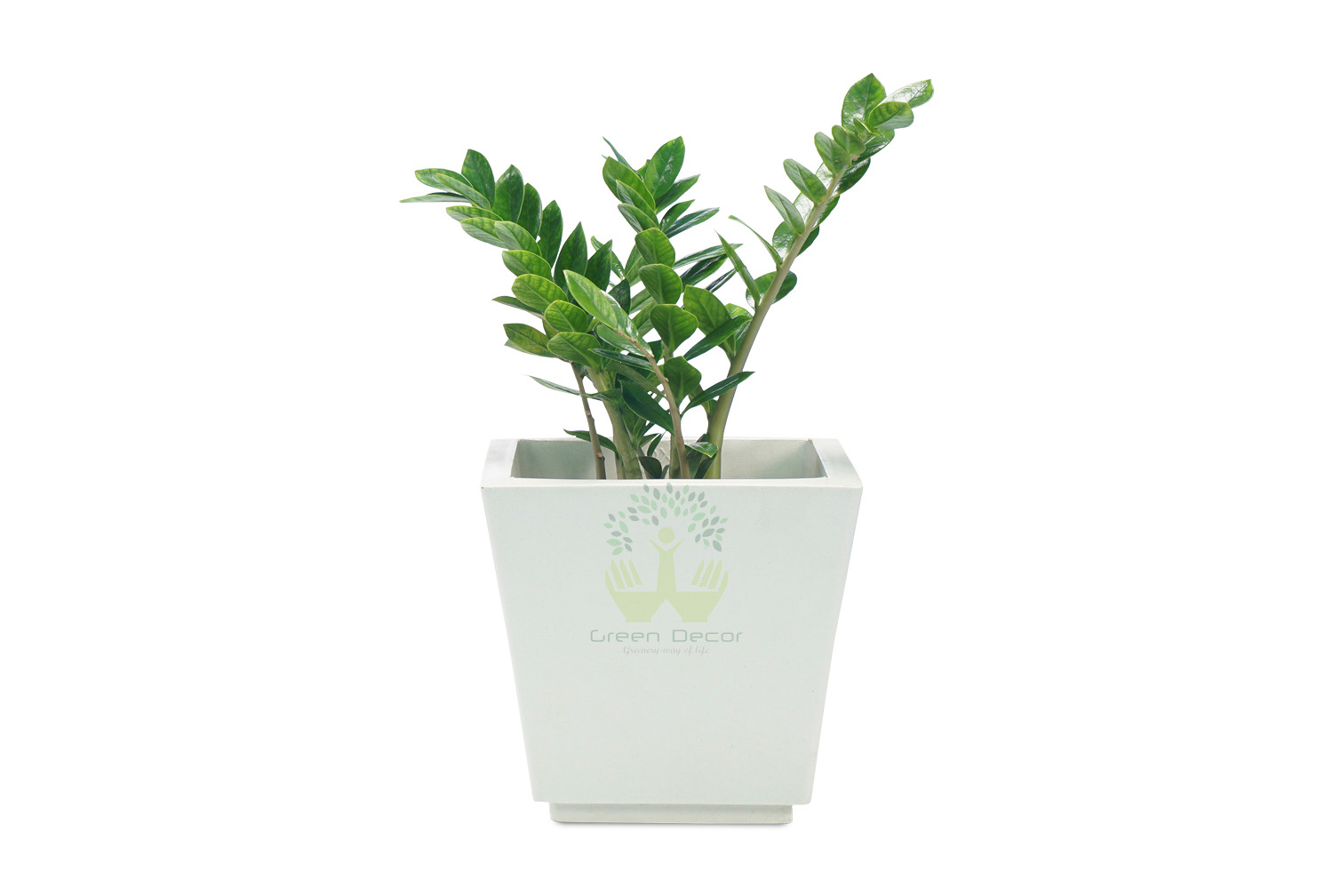 Buy Zed Plants , White Pots and seeds in Delhi NCR by the best online nursery shop Greendecor.