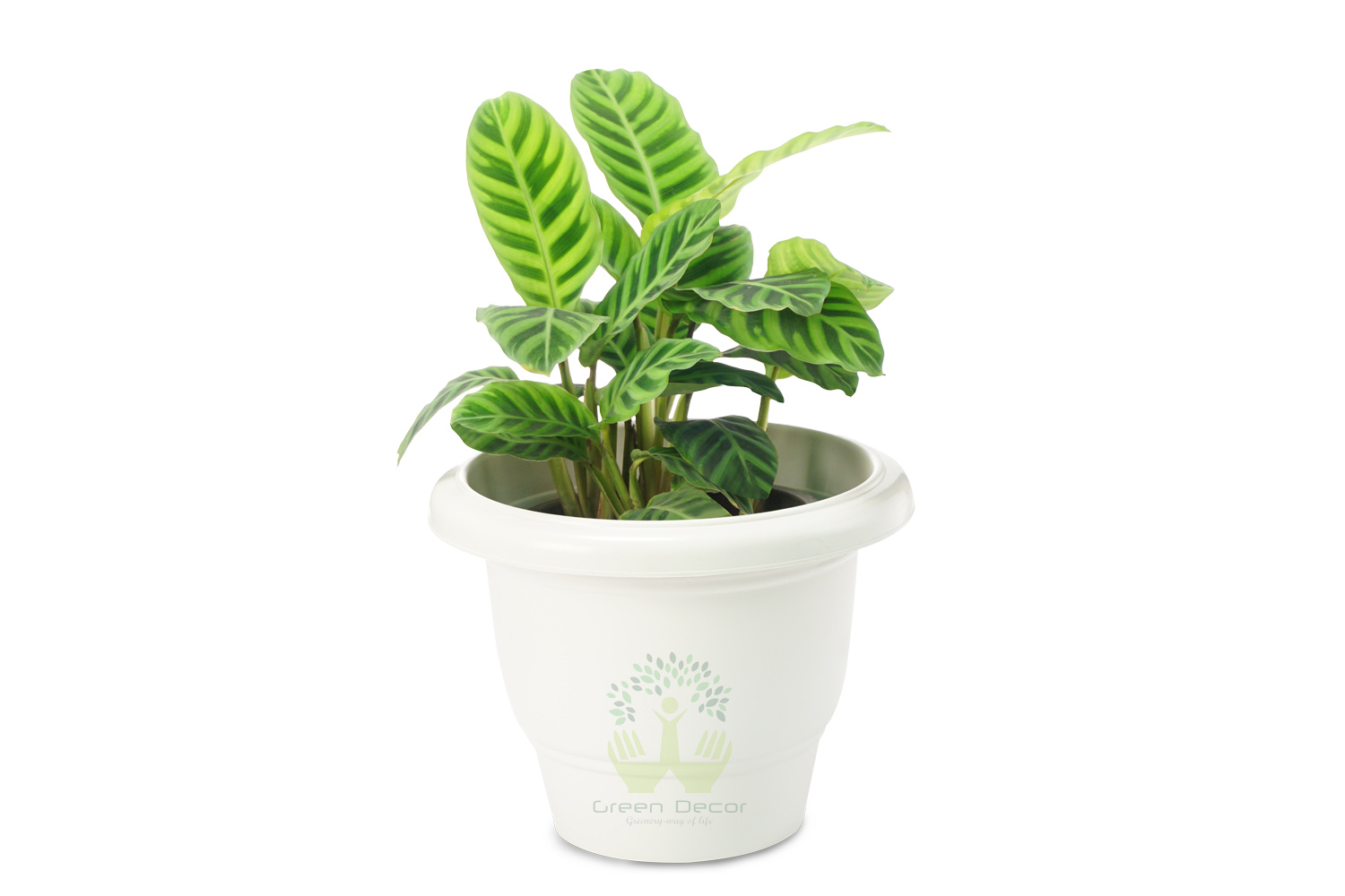 Buy Zebra Plant Front View , White Pots and Seeds in Delhi NCR by the best online nursery shop Greendecor.