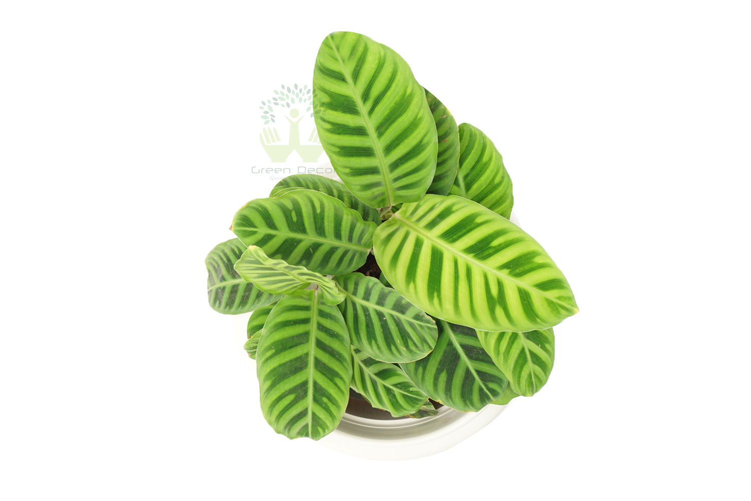 Buy Zebra Plant Top View, White Pots and Seeds in Delhi NCR by the best online nursery shop Greendecor.