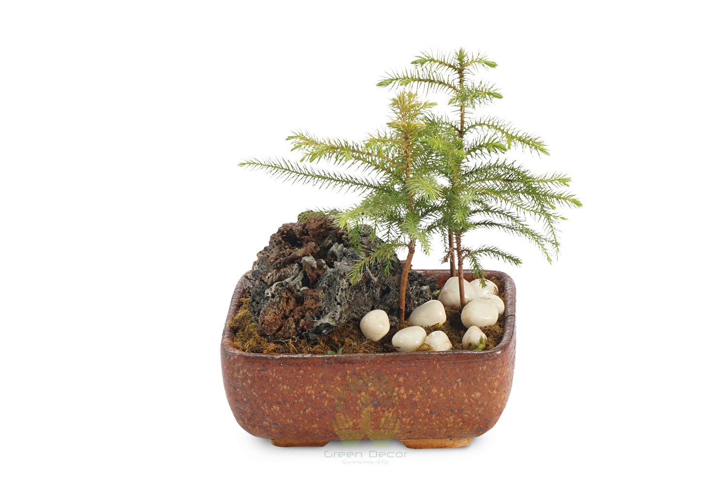 Buy Aracuria Plants , White Pots and seeds in Delhi NCR by the best online nursery shop Greendecor.