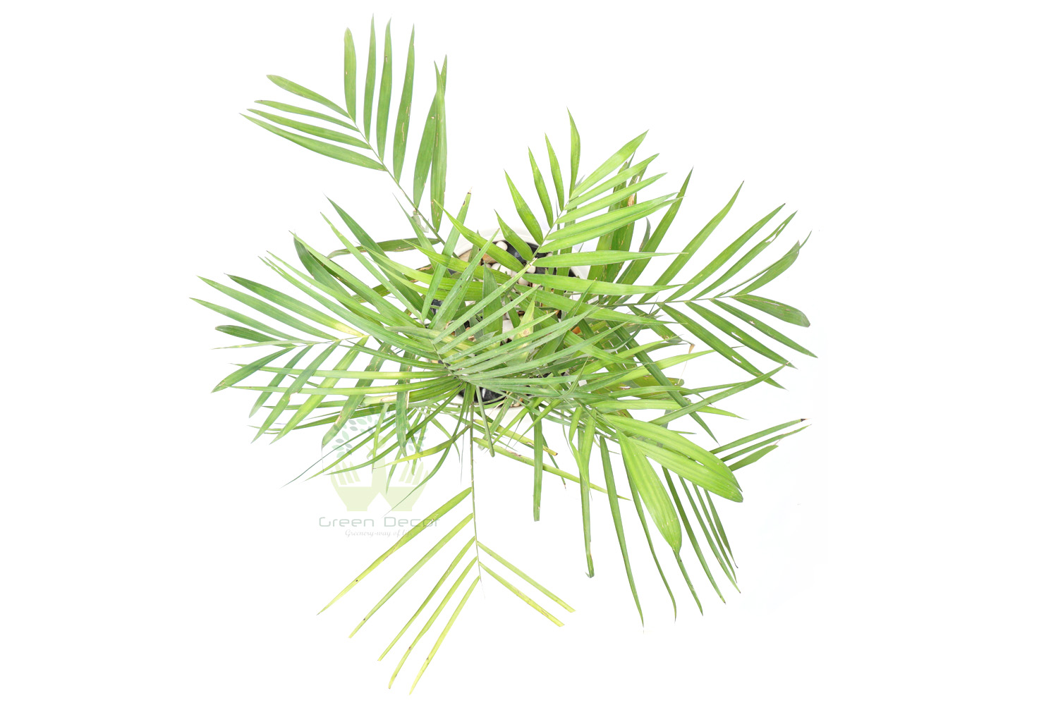 Buy Bamboo Palm Plants Top View , White Pots and seeds in Delhi NCR by the best online nursery shop Greendecor.