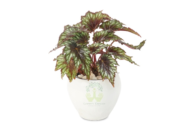 Buy Begonia Rex Plant Front View , White Pots and Seeds in Delhi NCR by the best online nursery shop Greendecor.