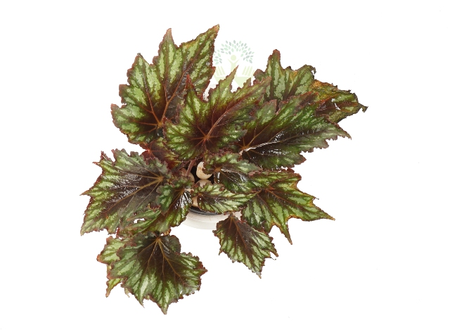 Buy Begonia Rex Plant Top View , White Pots and Seeds in Delhi NCR by the best online nursery shop Greendecor.