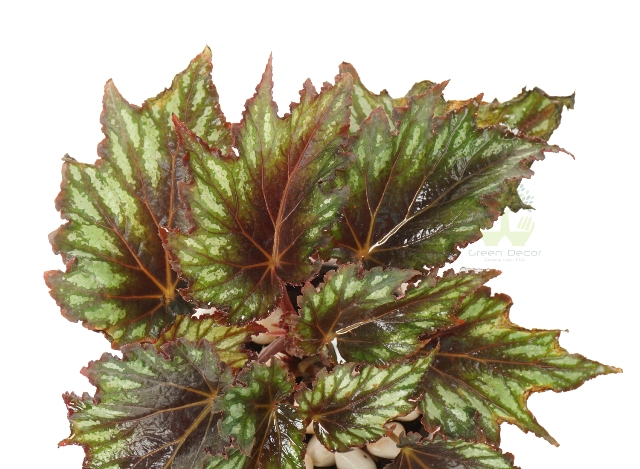 Buy Begonia Rex Plant Leaves View , White Pots and Seeds in Delhi NCR by the best online nursery shop Greendecor.