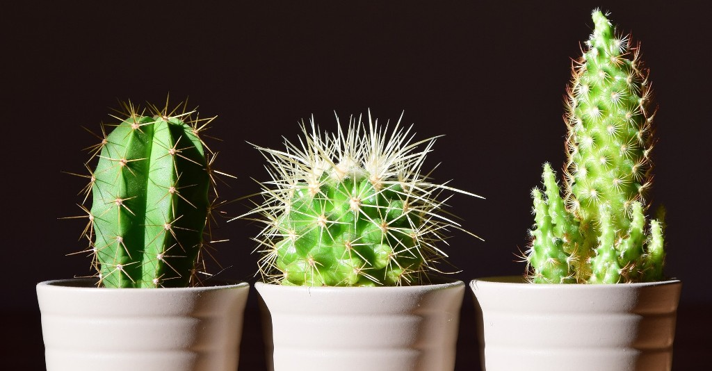 Buy Cactus Plants , White Pots and seeds in Delhi NCR by the best online nursery shop Greendecor.