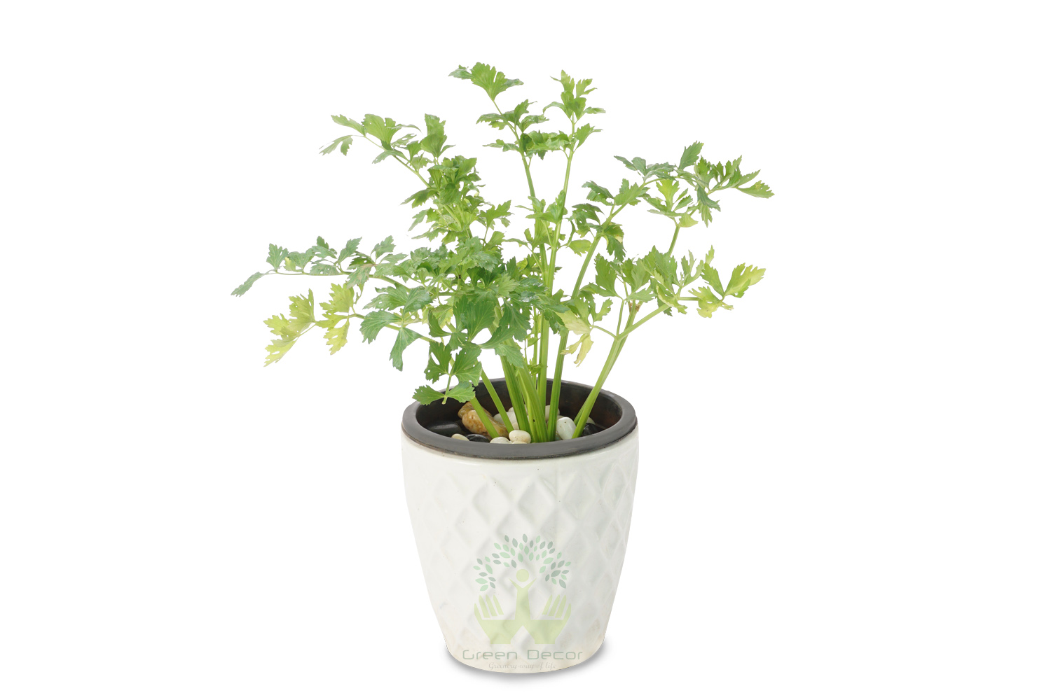 Buy Celery Plants Front View , White Pots and seeds in Delhi NCR by the best online nursery shop Greendecor.