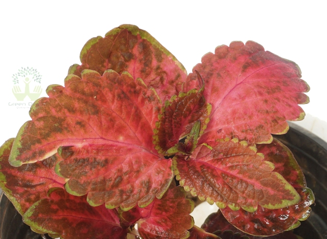 Buy Coleus Plant Leaves View , White Pots and Seeds in Delhi NCR by the best online nursery shop Greendecor.