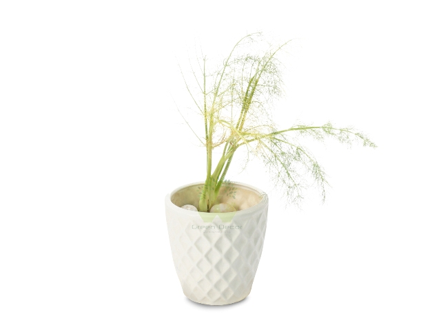 Buy Fennel Plant Front View, White Pots and Seeds in Delhi NCR by the best online nursery shop Greendecor.