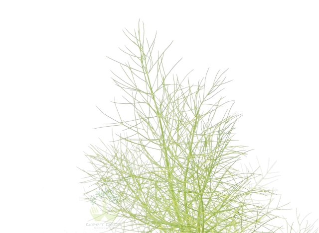 Buy Fennel Plant Leaves View in Delhi NCR by the best online nursery shop Greendecor.