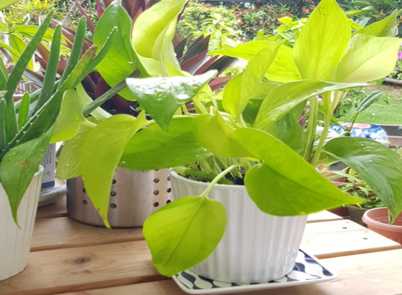 Buy Golden Money Online Order For Golden Money Plants In Delhi Green Decor
