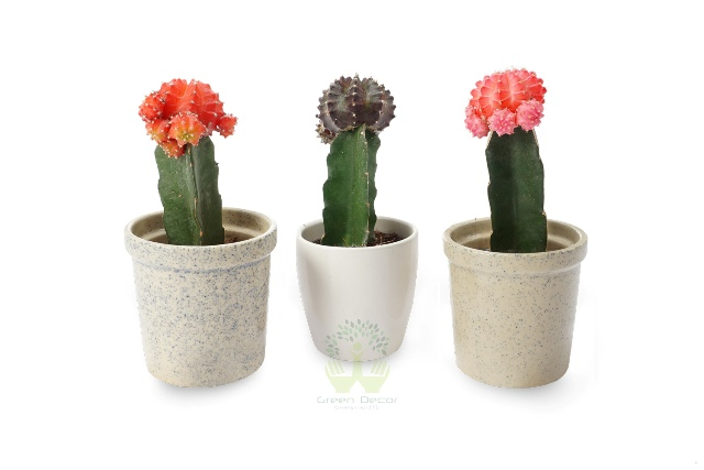 Buy Grafted Cactus Plant Front View, White Pots and Seeds in Delhi NCR by the best online nursery shop Greendecor.