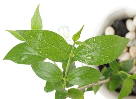 Buy Harshringar Plants Leaves View , White Pots and seeds in Delhi NCR by the best online nursery shop Greendecor.