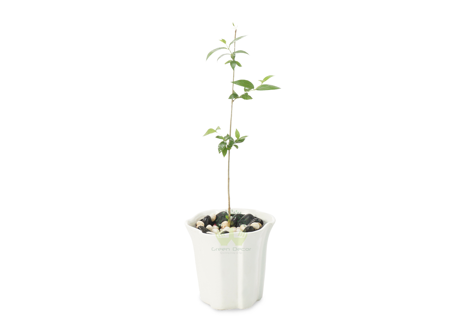 Buy Harshringar Plants Front View , White Pots and seeds in Delhi NCR by the best online nursery shop Greendecor.