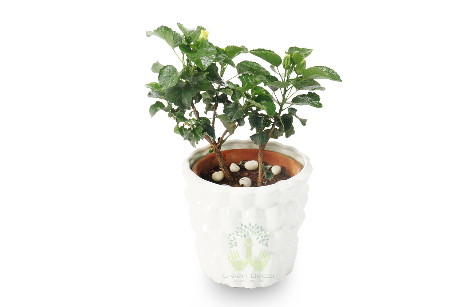 Buy hibiscus plants online order for hibiscus plants in delhi buy hibiscus plants front view white pots and seeds in delhi ncr by the best izmirmasajfo