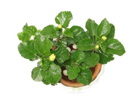 Buy Hibiscus Plants Top View , White Pots and seeds in Delhi NCR by the best online nursery shop Greendecor.