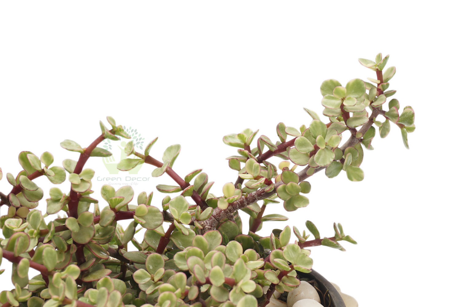 Buy Elephant Bush Jade Plants , White Pots and seeds in Delhi NCR by the best online nursery shop Greendecor.