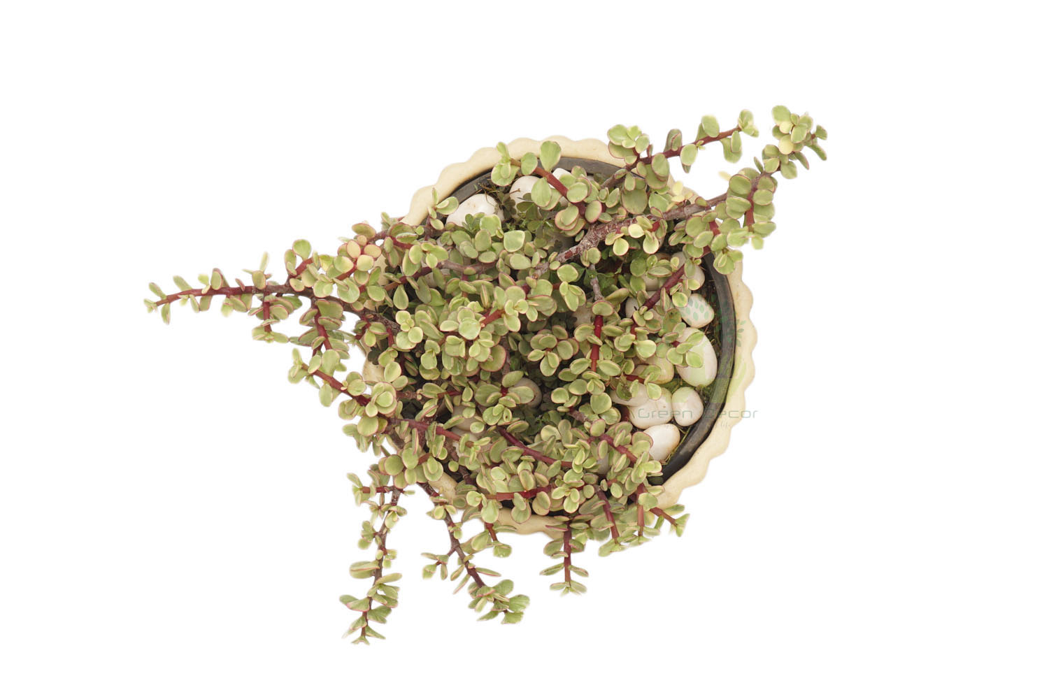 Buy Jade Variegated-Red Plants , White Pots and seeds in Delhi NCR by the best online nursery shop Greendecor.