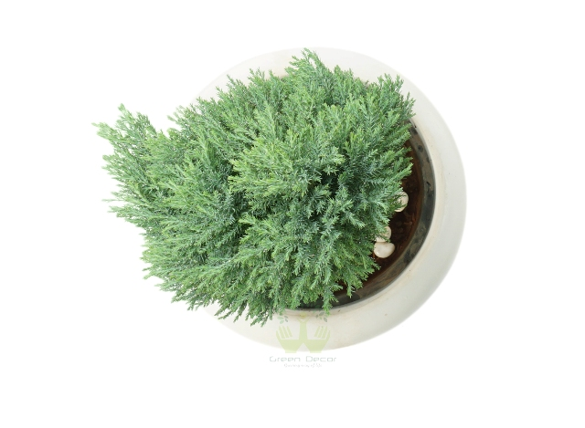 Buy Juniper Green Plant Top View by the best online nursery shop Greendecor.